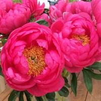 Пион Цитерия-розовый