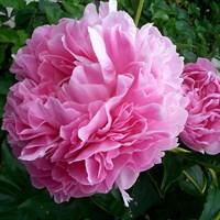 Пион Леди Кейт-розовый