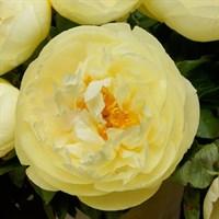 Пион Лемон Шиффон-желтый