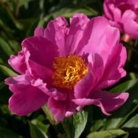 Пион Литл Медицинмэн-розовый