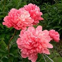 Пион Лорелея-розовый