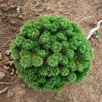 Сосна горная Шервуд Компакт-зеленый
