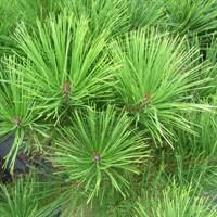 Сосна густоцветковая Алиса Веркаде-зеленый