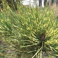 Сосна густоцветковая Окулус-драконис -двухцветный