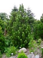 Сосна Гельдрейха Сателлит-зеленый