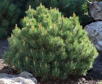 Сосна горная Мугус-зеленый