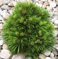 Сосна горная Бенджамин-зеленый