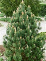 Сосна горная Колумнарис -зеленый