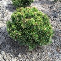 Сосна крючковатая Хейдеперл -зеленый