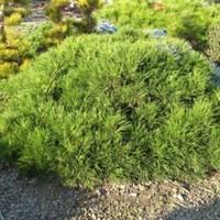Сосна горная Хессе-зеленый