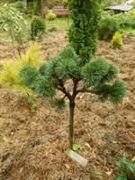 Сосна горная Якобсен-зеленый