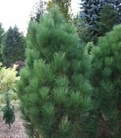 Сосна черная Грин Рокет-зеленый