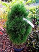Сосна чёрная Грин Тауэр-зеленый