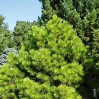 Сосна чёрная Хорнибрукиана-зеленый