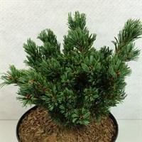 Сосна мелкоцветная Беран-зеленый