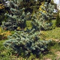Сосна мелкоцветковая Глаука-зеленый