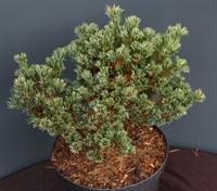 Сосна мелкоцветковая Хагоромо Сидлинг-зеленый