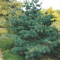 Сосна мелкоцветковая Негиши-зеленый