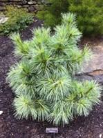 Сосна Шверина Витхорст-зеленый