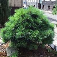 Сосна Веймутова Блю Шаг-зеленый