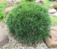 Сосна Веймутова Хорсфорд-зеленый