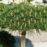 Сосна крючковатая Парадэкиссэн-зеленый