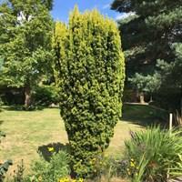 Тисс ягодный Фастигиата Ауреа-зеленый
