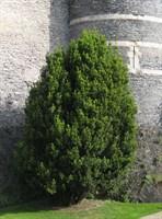 Тисс средний Хикси-зеленый