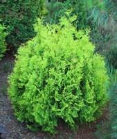 Туя западная Мики-зеленый