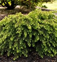 Тсуга канадская Джедделох-зеленый
