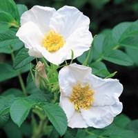 Роза Морщинистая Альба-белый