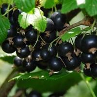 Смородина чёрная Титания-черный