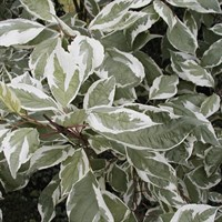Дерен белый Элегантиссима Вариегата-двухцветный