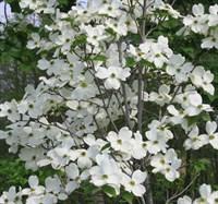 Дерен флорида цветущий-белый