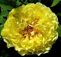 Пион древовидный Золото Поднебесной-желтый