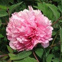 Пион древовидный Розовый Лу-розовый