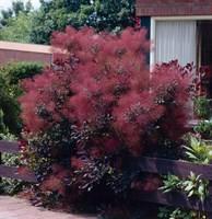Скумпия кожевенная Даски Майден-темно-бордовый