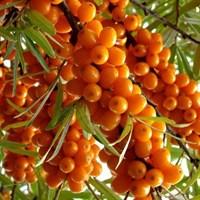 Облепиха Лейкора (женская)-оранжевый