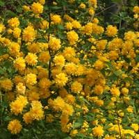 Керрия японская Пленифлора-желтый