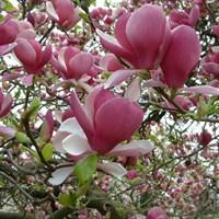 Магнолия Суланжа-розовый