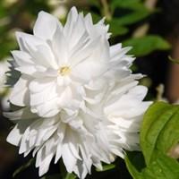 Чубушник Миннесота Сноуфлейк-белый