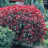 Фотиния Ред Робин -двухцветный