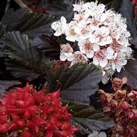 Пузыреплодник калинолистный Ред Барон-темно-бордовый