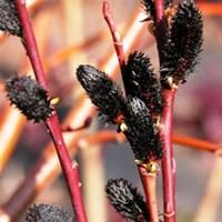 Ива тонкостолбиковая чёрноколосовидная-зеленый