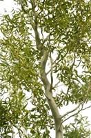 Ива Карадок-зеленый