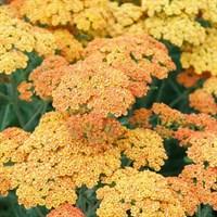 Тысячелистник Терракота-оранжевый