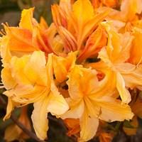 Рододендрон Голден Лайтс-желтый