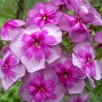 Флокс метельчатый Венец-розовый
