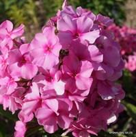 Флокс метельчатый Заветное желание-розовый