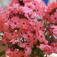 Флокс метельчатый Золотая Русь-розовый